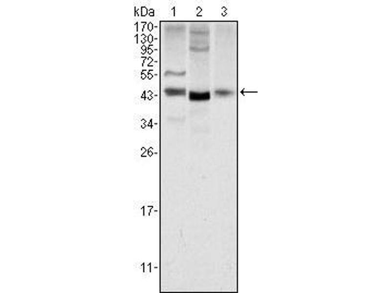 Western Blotting (WB) image for anti-Wingless-Type MMTV Integration Site Family, Member 1 (WNT1) antibody (ABIN2869441)