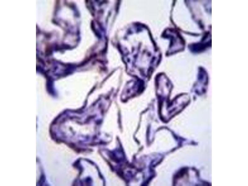 Immunohistochemistry (Paraffin-embedded Sections) (IHC (p)) image for anti-Leptin (LEP) (AA 7-37), (N-Term) antibody (ABIN953161)