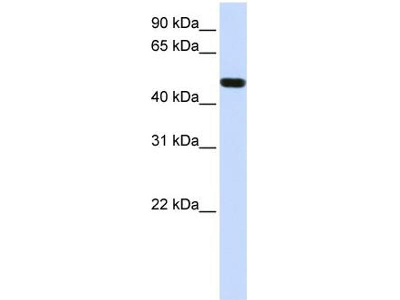 Western Blotting (WB) image for anti-FOXA1 antibody (Forkhead Box A1) (N-Term) (ABIN501688)