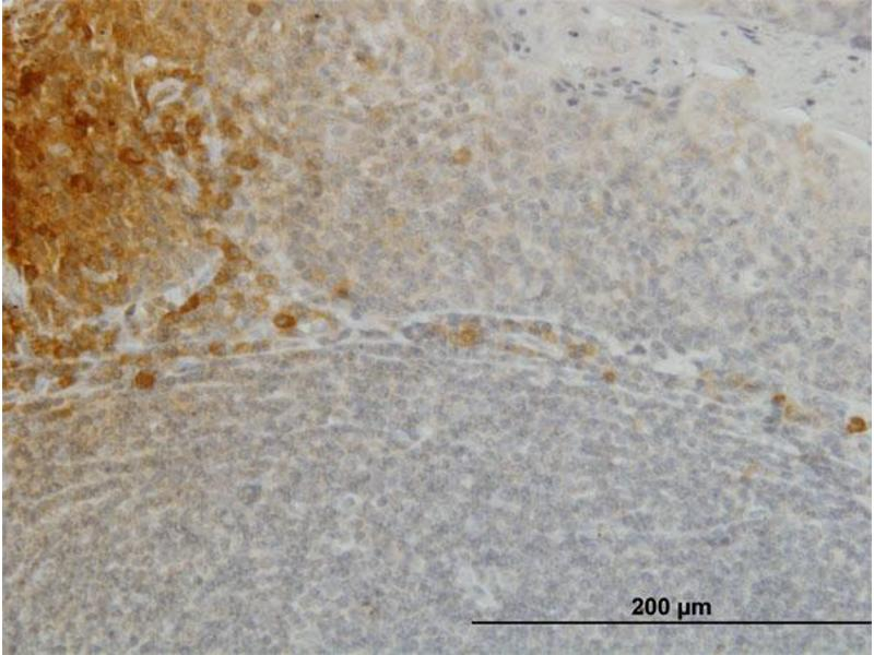 Immunostaining (ISt) image for anti-Fibroblast Growth Factor 21 (FGF21) (AA 30-209), (full length) antibody (ABIN565264)