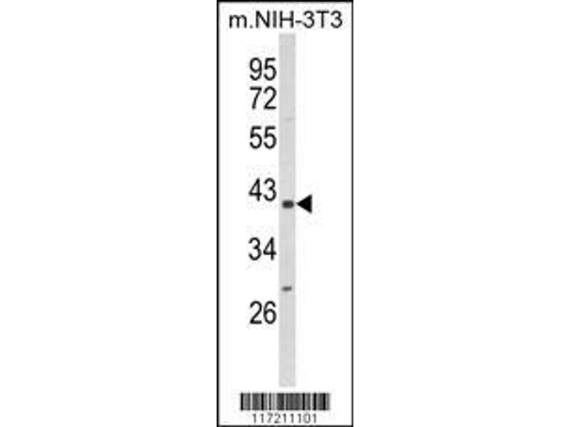 Western Blotting (WB) image for anti-Peptidylprolyl Isomerase D (PPID) (AA 85-115), (N-Term) antibody (ABIN652735)