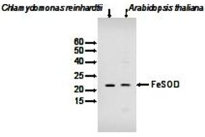 image for anti-Chloroplastic Fe-Dependent Superoxide Dismutase (FeSOD) antibody (ABIN2749232)