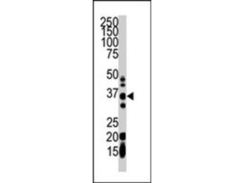 Image no. 2 for anti-Geranylgeranyl Diphosphate Synthase 1 (GGPS1) antibody (ABIN545251)