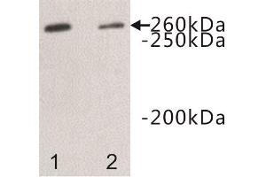 Image no. 1 for anti-Dopey Family Member 2 (DOPEY2) antibody (ABIN1854968)