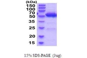 Image no. 1 for Aldehyde Dehydrogenase 2 Family (Mitochondrial) (ALDH2) (AA 20-519) protein (His tag) (ABIN5854256)
