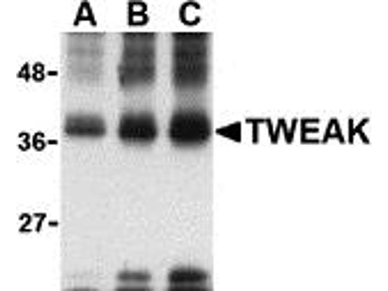 Western Blotting (WB) image for anti-Tumor Necrosis Factor (Ligand) Superfamily, Member 12 (TNFSF12) antibody (ABIN1031713)
