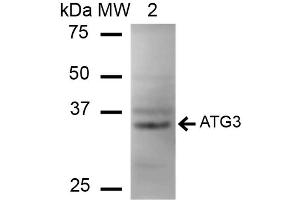 Image no. 2 for anti-ATG3 Autophagy Related 3 (ATG3) antibody (Alkaline Phosphatase (AP)) (ABIN5066398)