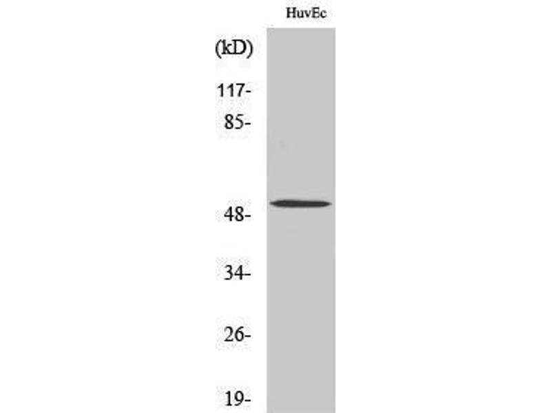 Western Blotting (WB) image for anti-Bone Morphogenetic Protein 5 (BMP5) (Internal Region) antibody (ABIN3183528)