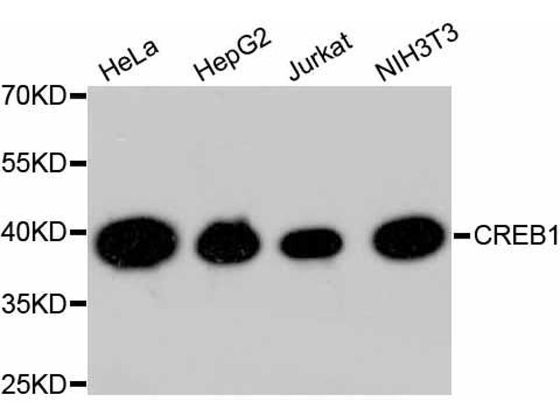 Western Blotting (WB) image for anti-cAMP Responsive Element Binding Protein 1 (CREB1) antibody (ABIN4903372)