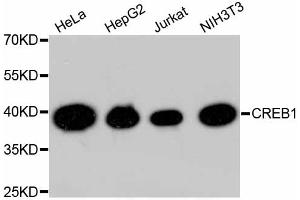 Image no. 3 for anti-cAMP Responsive Element Binding Protein 1 (CREB1) antibody (ABIN4903372)