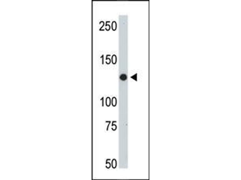 Western Blotting (WB) image for anti-JAK2 antibody (Janus Kinase 2) (AA 1101-1132) (ABIN387982)