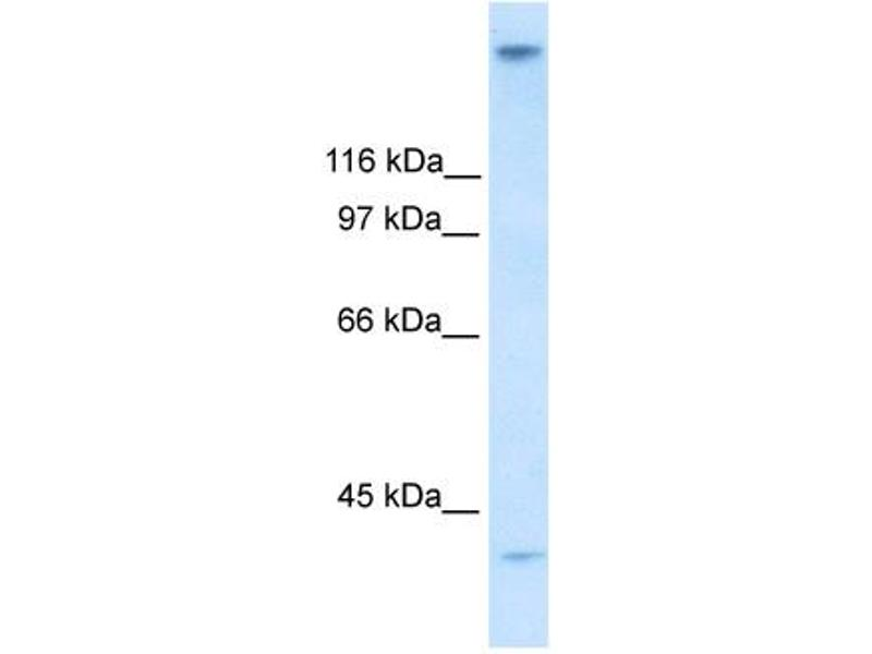 Western Blotting (WB) image for anti-Zinc Finger Protein 318 (Znf318) (N-Term) antibody (ABIN2779696)