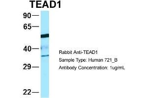 Western Blotting (WB) image for anti-TEA Domain Family Member 1 (SV40 Transcriptional Enhancer Factor) (TEAD1) (C-Term) antibody (ABIN2781167)