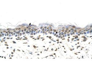 Immunohistochemistry (Paraffin-embedded Sections) (IHC (p)) image for anti-FTCD antibody (Formiminotransferase Cyclodeaminase) (N-Term) (ABIN310177)