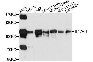 Image no. 1 for anti-Interleukin 17 Receptor D (IL17RD) antibody (ABIN6142326)