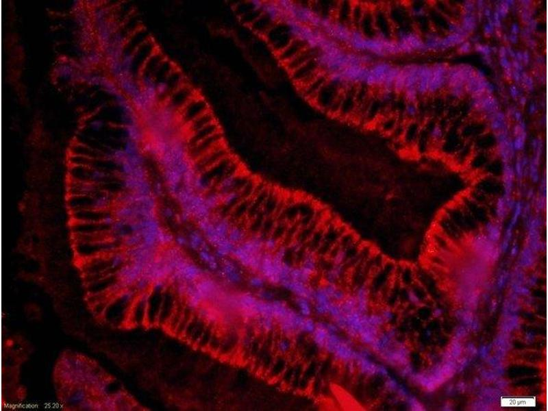 Immunofluorescence (Paraffin-embedded Sections) (IF (p)) image for anti-Frizzled Family Receptor 3 (FZD3) (AA 150-200) antibody (ABIN1714171)