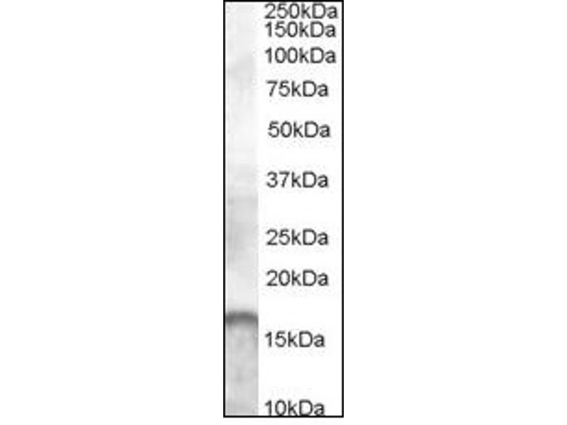 image for anti-Allograft Inflammatory Factor 1 (AIF1) (C-Term) antibody (ABIN492698)