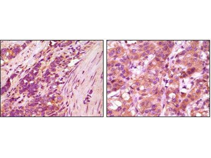 Immunohistochemistry (IHC) image for anti-Fibulin 5 antibody (FBLN5) (ABIN969144)