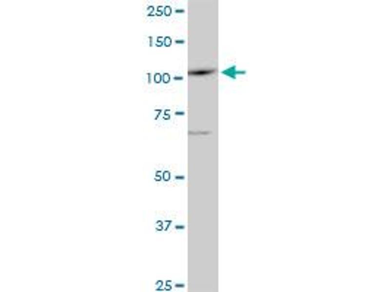 Western Blotting (WB) image for anti-Sal-Like 4 (Drosophila) (SALL4) (AA 954-1053) antibody (ABIN566099)