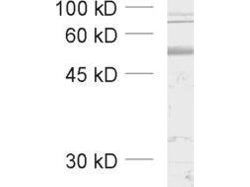 Western Blotting (WB) image for anti-gamma-aminobutyric Acid (GABA) A Receptor, beta 3 (GABRB3) (AA 344-429) antibody (ABIN1742464)