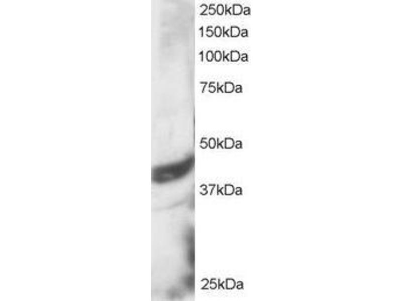 Image no. 1 for anti-DAP3 antibody (Death-Associated Protein 3) (C-Term) (ABIN184743)
