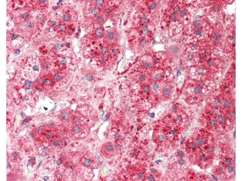 Immunohistochemistry (IHC) image for anti-Brain and Reproductive Organ-Expressed (TNFRSF1A Modulator) (BRE) (C-Term) antibody (ABIN6754911)