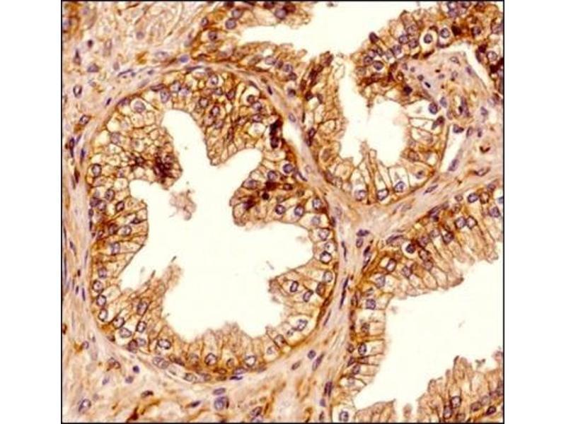 Immunohistochemistry (Paraffin-embedded Sections) (IHC (p)) image for anti-Spectrin, Beta, Non-erythrocytic 2 (SPTBN2) antibody (ABIN4355597)