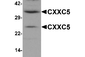 Image no. 2 for anti-CXXC Finger Protein 5 (CXXC5) (N-Term) antibody (ABIN1031339)