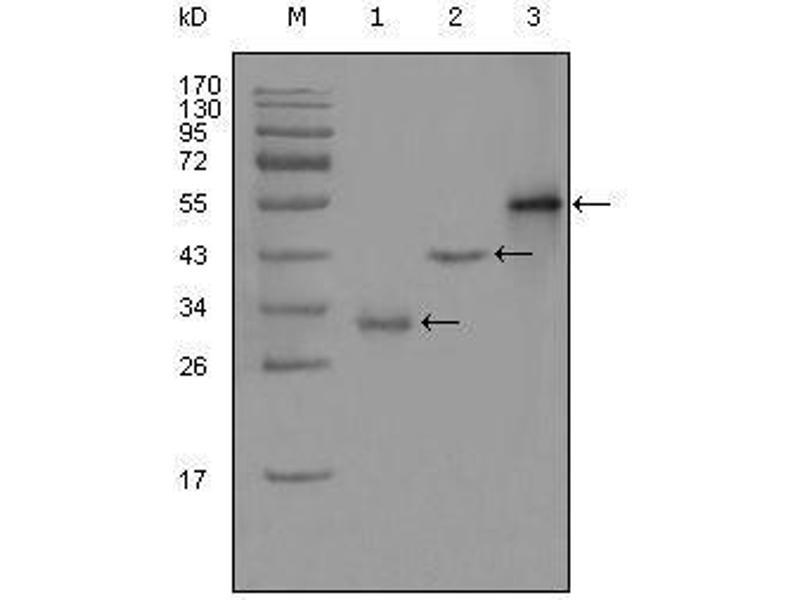 Western Blotting (WB) image for anti-Paternally Expressed 10 (PEG10) (AA 1-120) antibody (ABIN2869375)