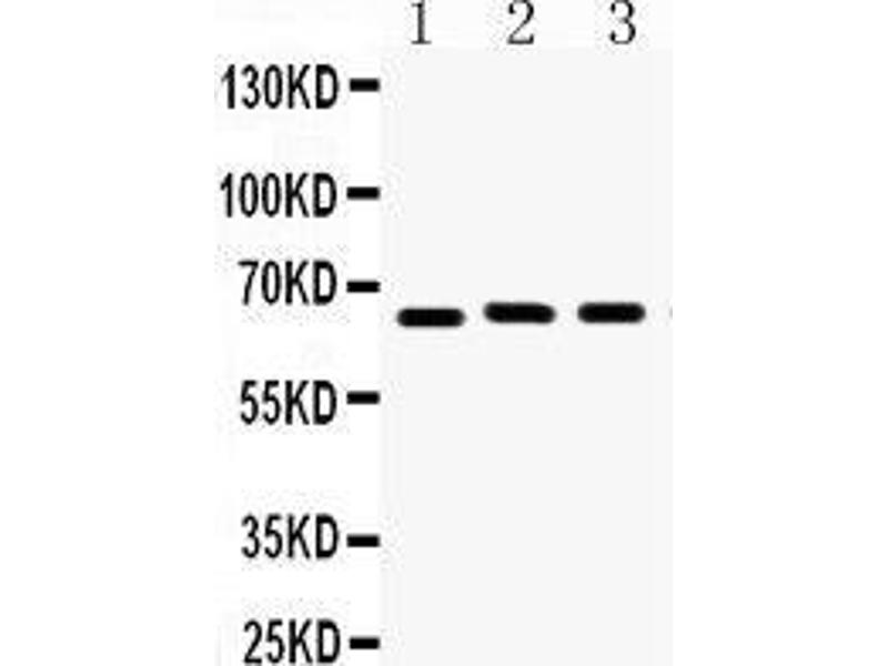 Western Blotting (WB) image for anti-Lamin B1 (LMNB1) (AA 266-583) antibody (ABIN3042505)