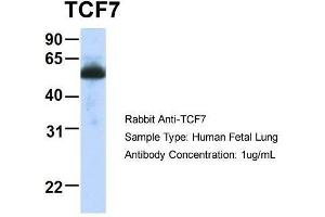 anti-Transcription Factor 7 (T-Cell Specific, HMG-Box) (TCF7) (Middle Region) antibody (3)