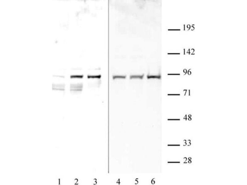 Western Blotting (WB) image for anti-Signal Transducer and Activator of Transcription 1, 91kDa (STAT1) (pSer727) antibody (ABIN2668935)