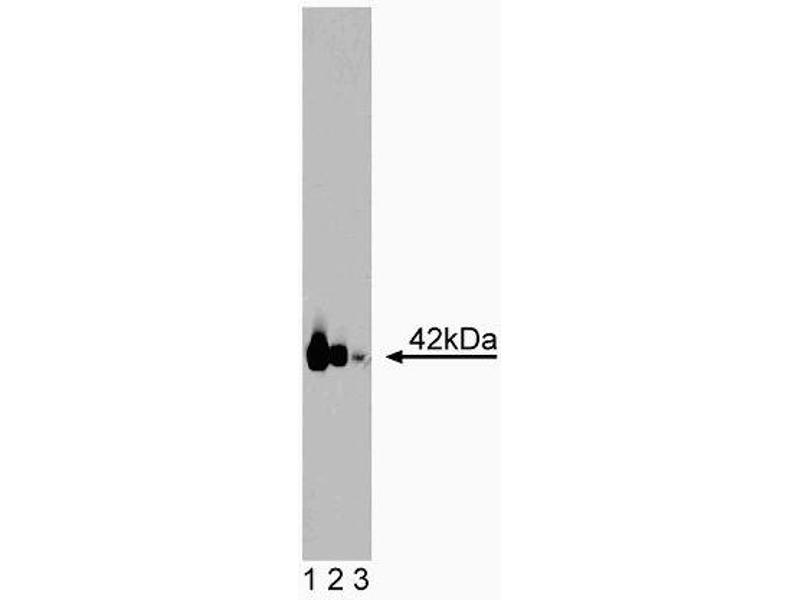 Western Blotting (WB) image for anti-GNAQ antibody (Guanine Nucleotide Binding Protein (G Protein), Q Polypeptide) (AA 22-31) (ABIN968915)