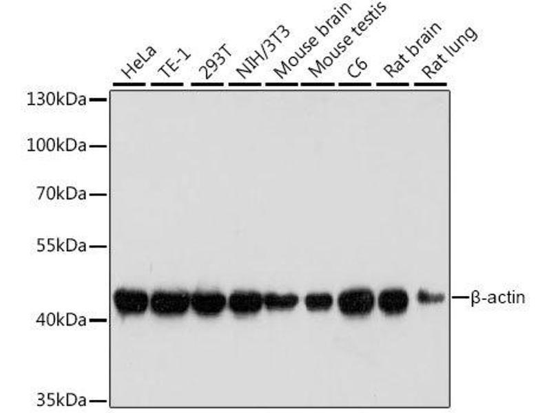 Western Blotting (WB) image for anti-Actin, beta (ACTB) antibody (ABIN3020544)