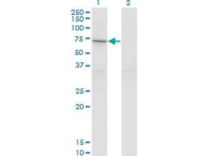 Western Blotting (WB) image for anti-Signal Transducing Adaptor Molecule (SH3 Domain and ITAM Motif) 2 (STAM2) (AA 416-526) antibody (ABIN393434)