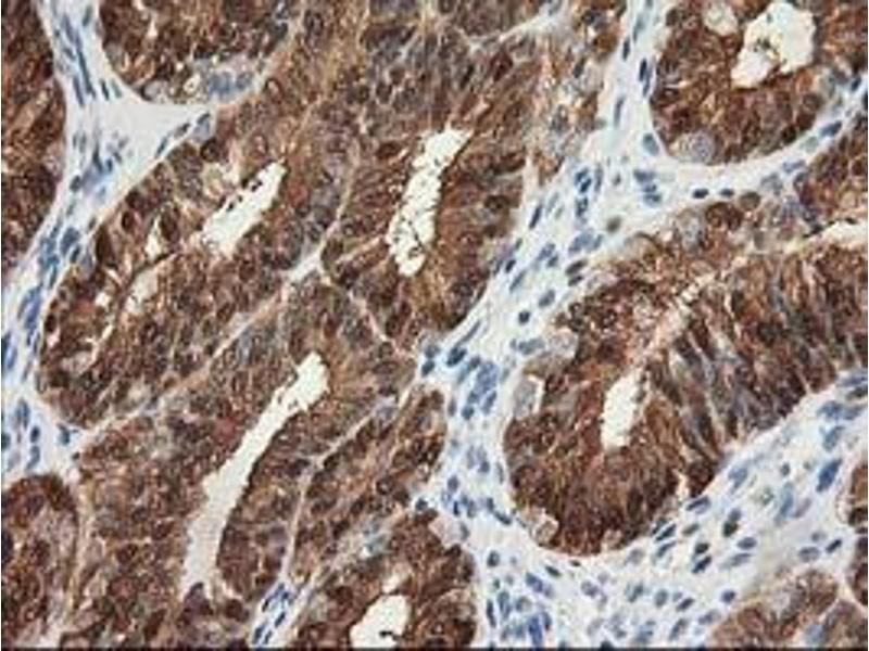 Image no. 1 for anti-Hydroxyprostaglandin Dehydrogenase 15-(NAD) (HPGD) antibody (ABIN1496363)