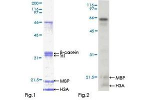 Image no. 1 for Mitogen-Activated Protein Kinase 10 (MAPK10) (AA 1-319) protein (GST tag) (ABIN1310260)