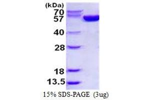 image for Glucose-6-Phosphate Dehydrogenase (G6PD) protein (His tag) (ABIN1098613)