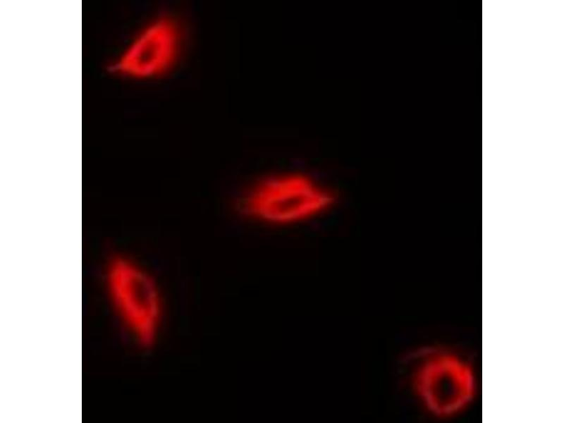 Immunofluorescence (IF) image for anti-Perforin 1 (Pore Forming Protein) (PRF1) antibody (ABIN3197764)