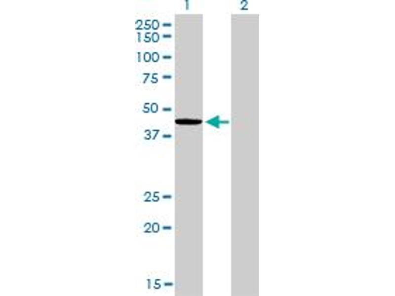 Western Blotting (WB) image for anti-Endoplasmic Reticulum Protein 44 (ERP44) (AA 30-407) antibody (ABIN395921)