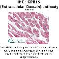 anti-GPR15 antibody (G Protein-Coupled Receptor 15) (2nd Extracellular Domain)