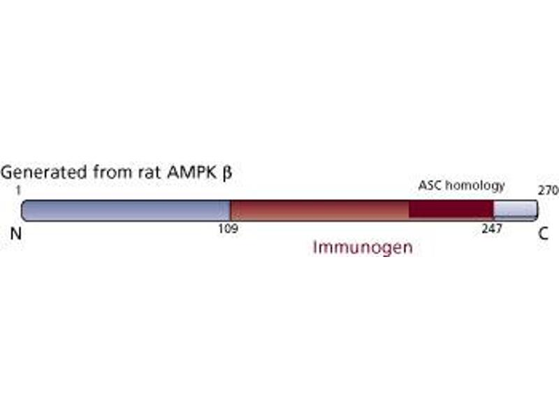 image for anti-PRKAB1 antibody (Protein Kinase, AMP-Activated, beta 1 Non-Catalytic Subunit) (AA 109-247) (ABIN968185)