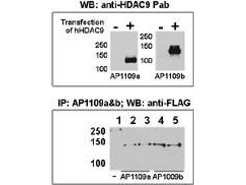 image for anti-Histone Deacetylase 9 (HDAC9) (AA 503-533), (C-Term) antibody (ABIN387961)