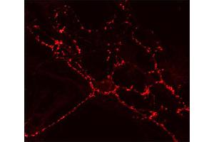 Image no. 2 for anti-Synaptic Vesicle Glycoprotein 2A (SV2A) (AA 2-17) antibody (ABIN1742256)