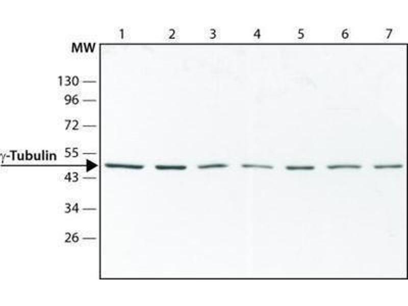 Western Blotting (WB) image for anti-TUBG1 Antikörper (Tubulin, gamma 1) (ABIN265871)