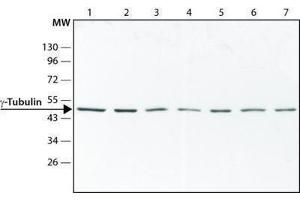 Western Blotting (WB) image for anti-Tubulin, gamma 1 (TUBG1) antibody (ABIN265871)