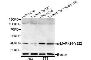 Image no. 3 for anti-Mitogen-Activated Protein Kinase 14 (MAPK14) (pTyr322) antibody (ABIN3023580)