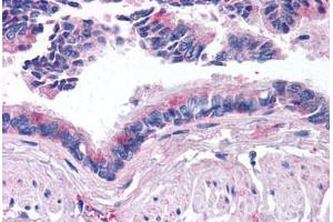 Immunohistochemistry (Paraffin-embedded Sections) (IHC (p)) image for anti-Bone Morphogenetic Protein 5 (BMP5) (AA 31-46) antibody (ABIN214627)