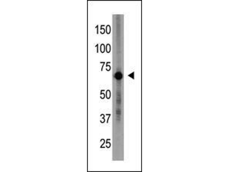 Western Blotting (WB) image for anti-Cryptochrome 1 (Photolyase-Like) (CRY1) (AA 556-586), (C-Term) antibody (ABIN390079)