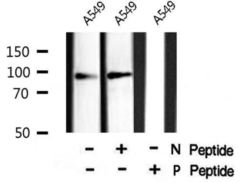 Western Blotting (WB) image for anti-Vav 1 Oncogene (VAV1) (pTyr160) antibody (ABIN6271208)